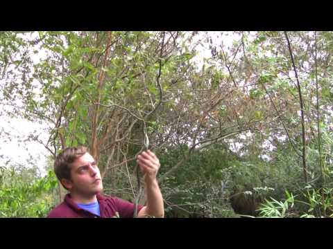 *Plant Corkscrew Willow Trees* +Fast Growing Tree+Salix mat+
